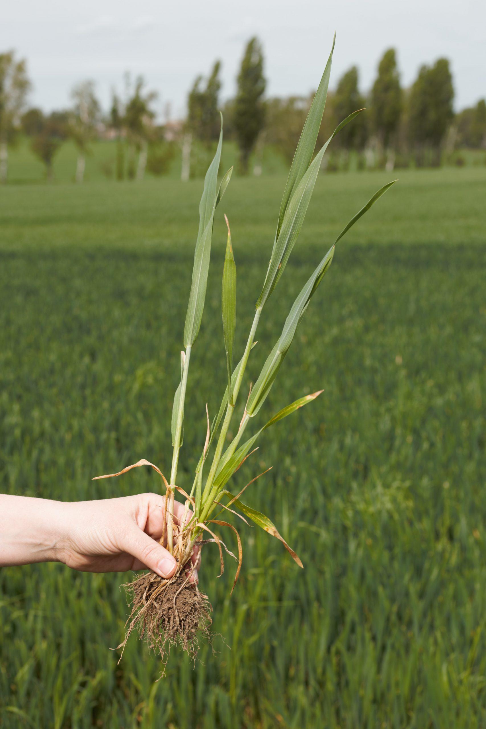 Die Getreidepflanze ist größer, als sie auf den ersten Blick wirkt. Diese ist gerade in der Schossphase.